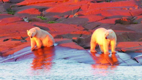 Naturerlebnis in Manitoba: Eisbären in der Abendsonne