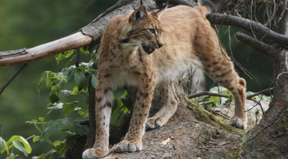 Mit etwas Glück bekommt man im Bayerischen Wald den Luchs zu Gesicht