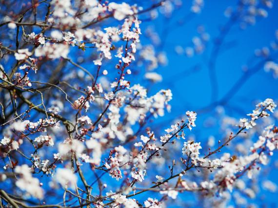 Die Kirschblüte ist ein besonders schönes Naturphänomen