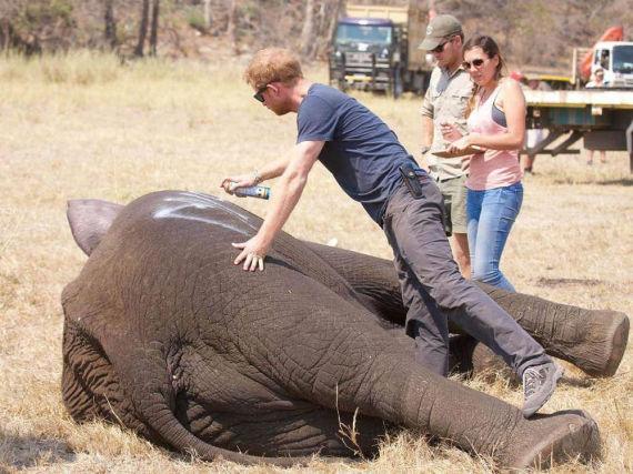 Prinz Harry markiert einen Elefanten in Afrika