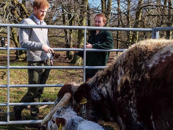 Prinz Harry macht sich mit der Kuh Lucky und ihrem Kalb vertraut